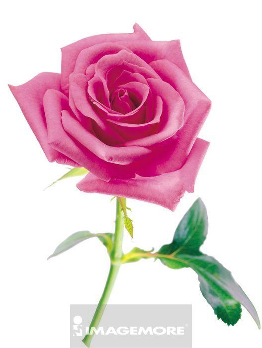 玫瑰花包法步骤图解