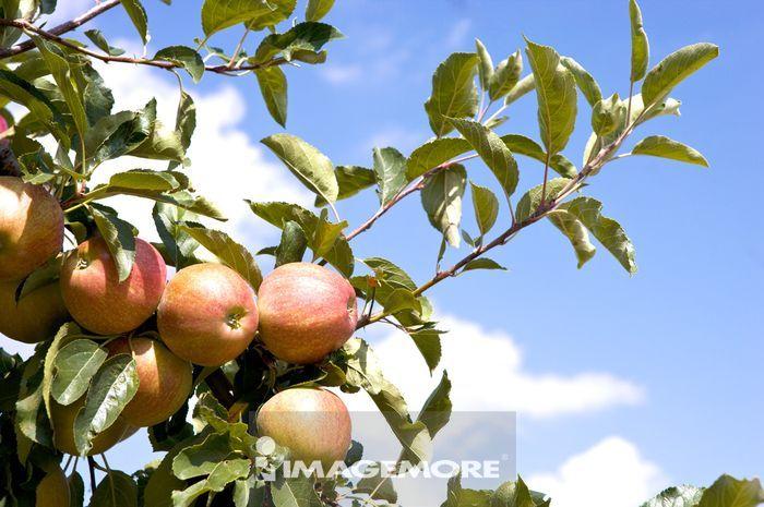 苹果树, 苹果, 法国, 普罗旺斯