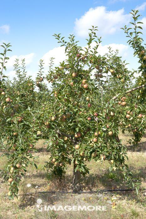 苹果树, 法国, 普罗旺斯