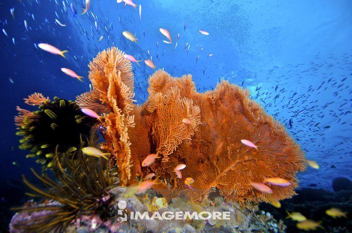 马来西亚,扇形珊瑚,珊瑚,