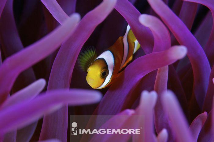 马来西亚,东印度尼西亚群岛,小丑鱼,