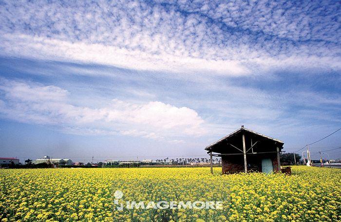 乌云,云彩,植物,花,花朵,鲜花,油菜花,花海,花田,建筑,建筑物,房子