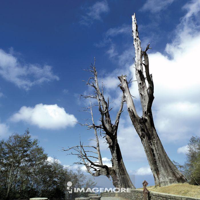 台湾,嘉义县,阿里山,夫妻树