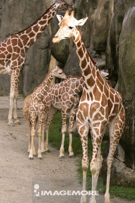动物园,看,站着,岩石,草食性,食草的,可爱的,大的,有斑点的,长颈鹿,动