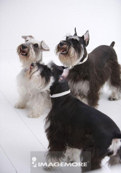 三只雪纳瑞狗,