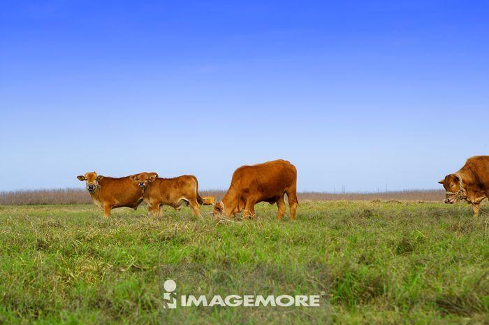 一群黄牛在草地上觅食,
