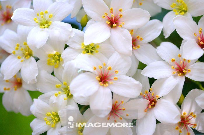美丽的油桐花,