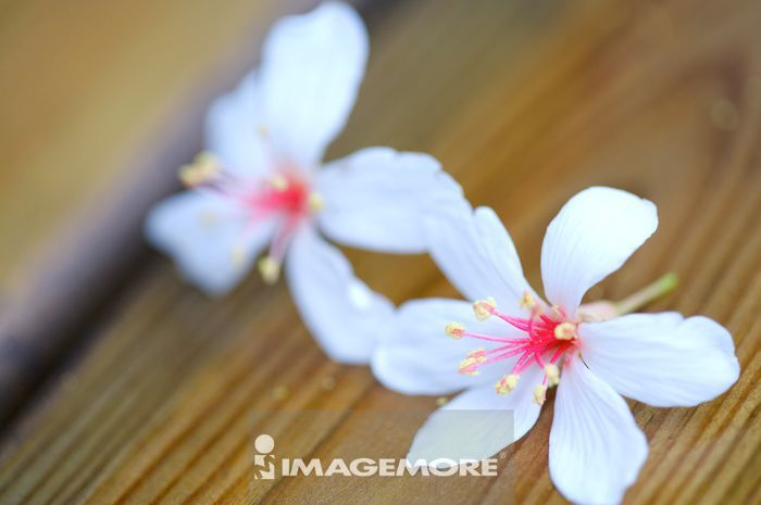 在木头上的油桐花,