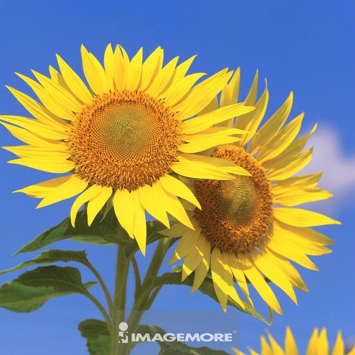 夏日鲜艳的向日葵,