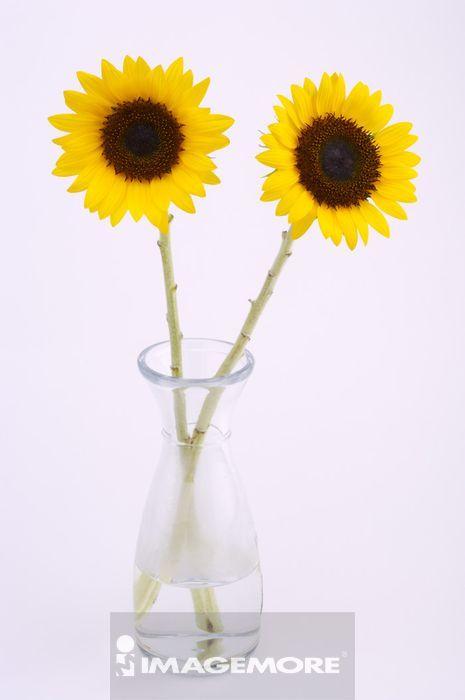 鲜艳美丽的向日葵,
