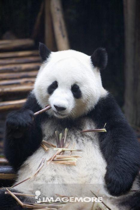 中国,四川省,成都,熊猫