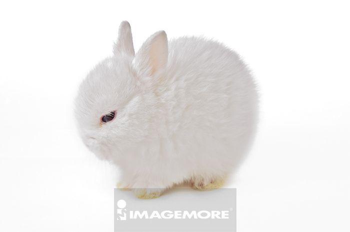 静物,系列,特写,简单,白背景,白色背景,横图,水平构图,一只动物,兔子
