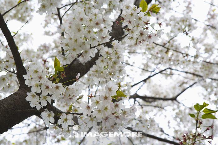 浙江省,杭州,西湖,樱花,花