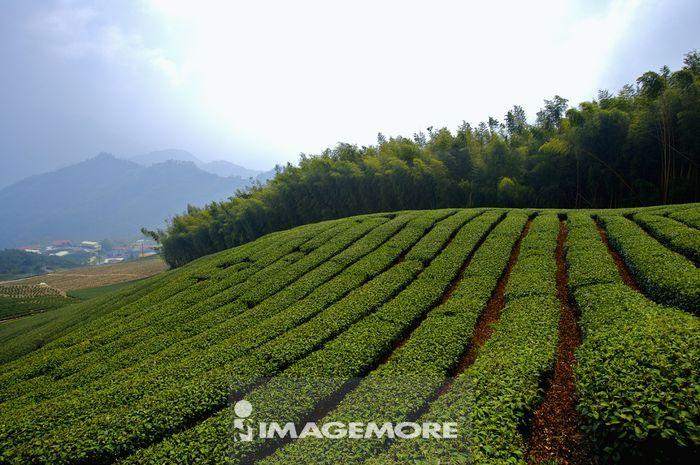台湾,嘉义,阿里山风景区,茶园,