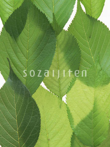 gc195,绿叶篇,叶子,叶,叶片,绿叶,树叶,叶片,树叶,叶,植物,标本,叶脉图片