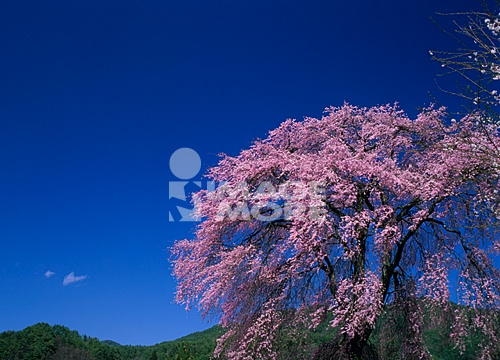Cherry Blossoms and Sky, Nagano, Japan