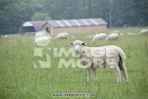 A herd of sheep grazing in field