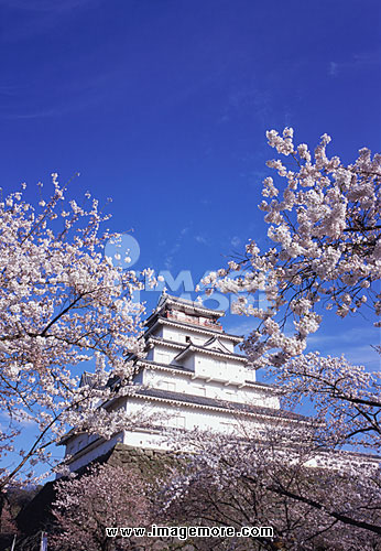 Cherry blossoms in Tsurugajo Castle, Fukushima Prefecture, Japan