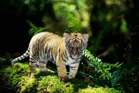 茂盛的树叶,哺乳动物,无人,一只动物,户外,非洲动物,影子,站着,老虎