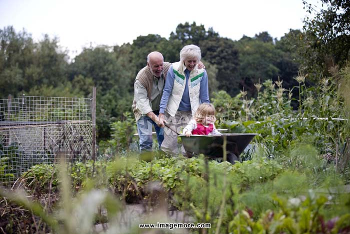 Grandparents pushing their granddaughter in a wheelbarrow on an allotment