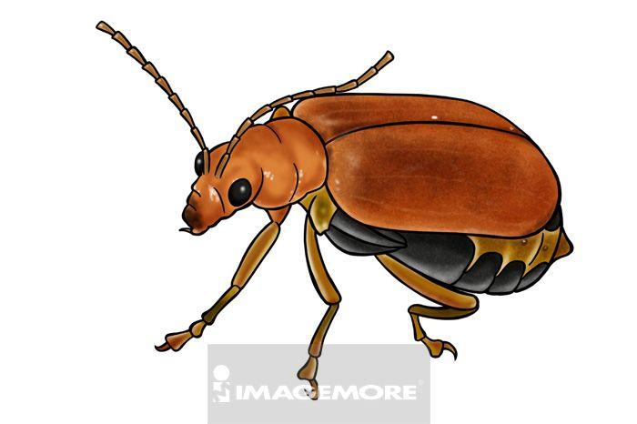 黄守瓜,昆虫,节肢动物