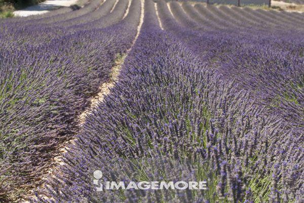 风景,熏衣草,法国,普罗旺斯,