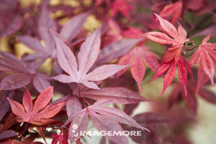 阳明山,台北,台湾,亚洲,AhaSeries,枫叶,枫树,红枫