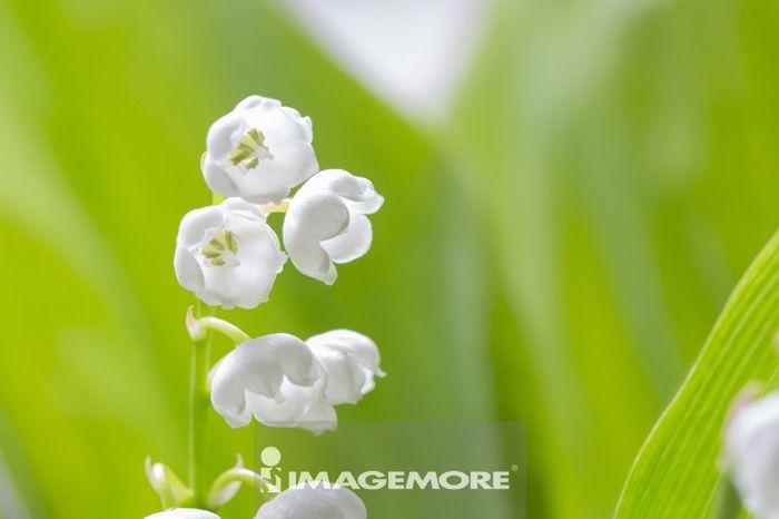 铃兰,花,花卉,