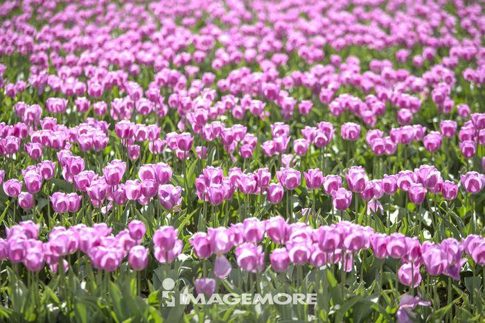 郁金香,花,西雅图,美国,