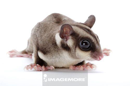 白背景,横图,一只动物,动物头部,动物眼睛,动物耳朵,动物身体,脚爪