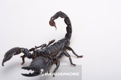 节肢类动物蝎子
