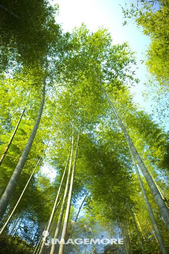 中国,广西,桂林,竹子