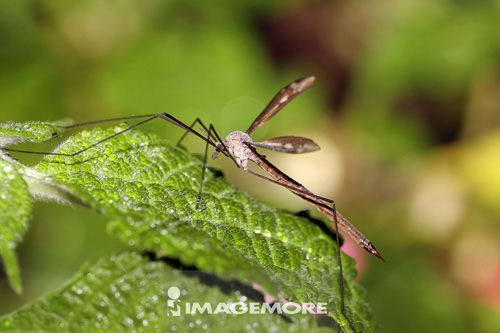 香港大蚊,分布于全岛低海拔平地及中海拔山区,其幼虫水生或半水生,通常可见生活于溪流,河道旁的潮湿有机土中,亦可见于沼泽湿地中。