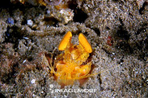 亚洲,菲律宾,螳螂虾,