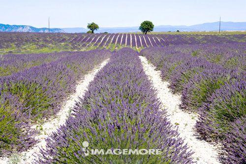 熏衣草, 瓦伦索, 法国