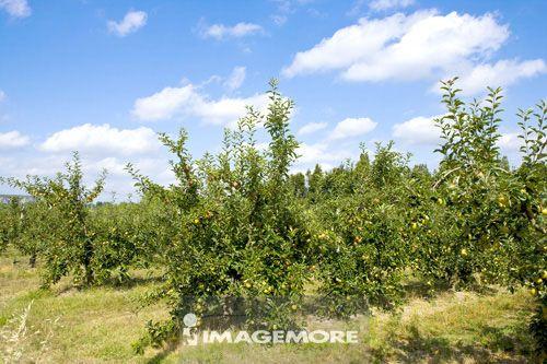 草,树枝,树,人工栽培,果树,树干,园艺,植物,云,白云,天空,绿叶,青苹果