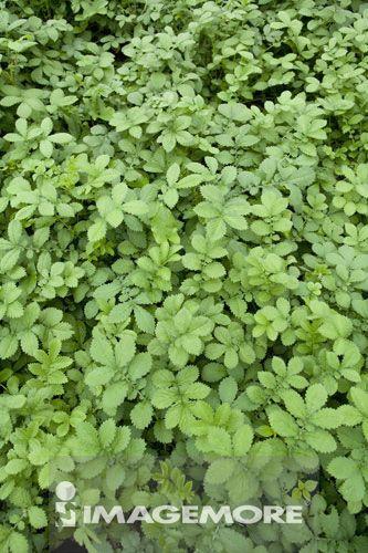 龙芽草,草本植物,广西药用植物园