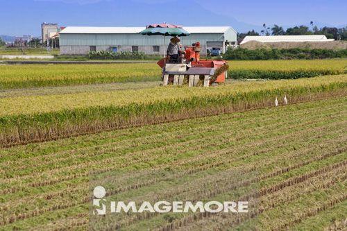 稻田,稻穗,机器,农民,丰收,现代农业,收割机,房子,一个人,夏天,冬天