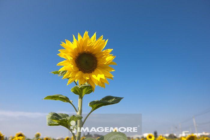 向日葵,花,彰化,台湾,亚洲,