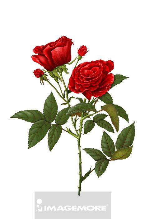 插画,中药,玫瑰,