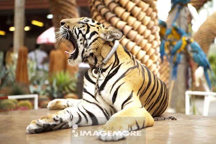 老虎动物牙齿手工制作