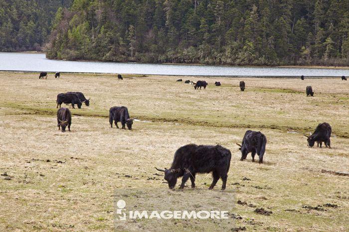 香格里拉,云南省,中国,亚洲,碧塔海,普达措公园,牧场,