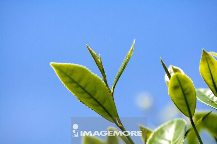 茶叶,种植园