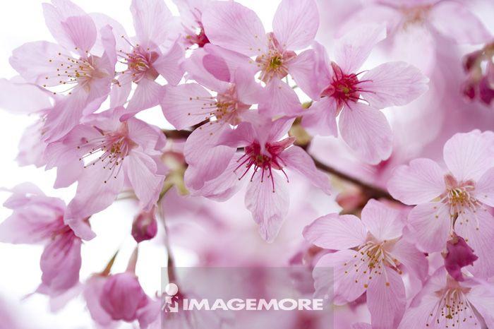 粉红佳人,樱花,台中,台湾,亚洲,