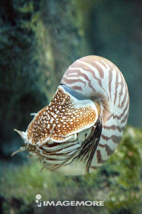 北海道,日本,亚洲,海生,动物,鹦鹉螺,