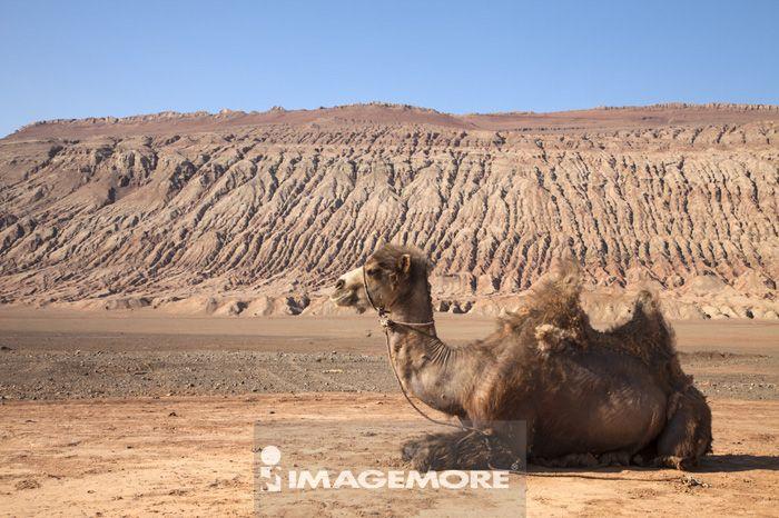 火焰山,吐鲁番,新疆自治区,中国,亚洲,骆驼,