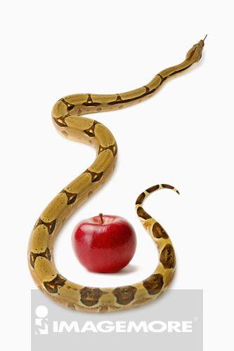 哥伦比亚红尾蟒,蛇,蟒蛇