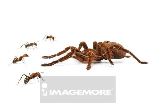 亚马逊捕鸟蜘蛛,蜘蛛