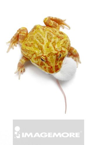 角蛙,黄金角蛙,青蛙,