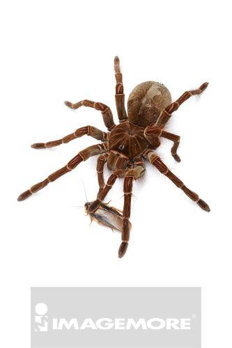 亚马逊捕鸟蜘蛛,蜘蛛,